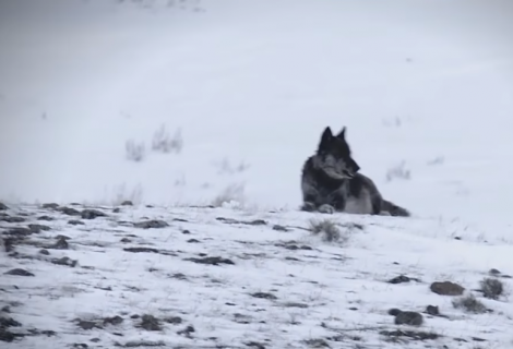 The reintroduction of the gray wolf to Yellowstone National Park revitalized the ecosystem!